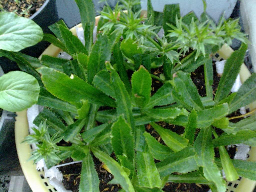 Cách trồng rau mùi tàu tại nhà chỉ 20 ngày có rau ăn - Ảnh 2.