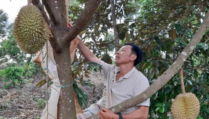 Vườn sầu riêng đang cho thu hoạch của ông Thiện. Ảnh: Đinh Lâm.