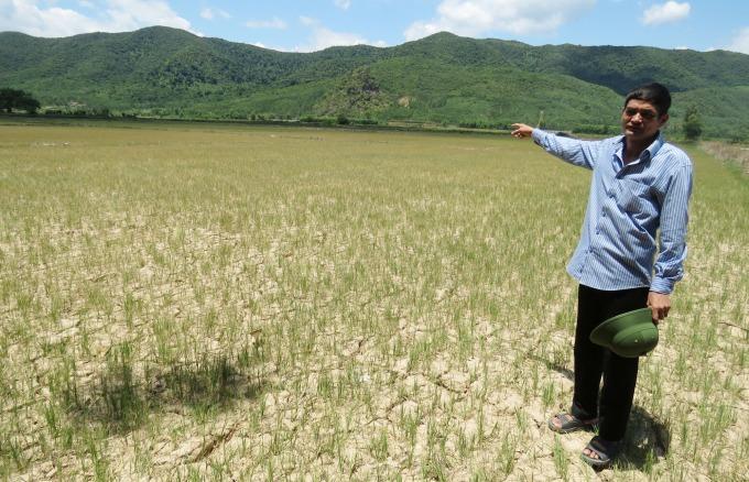 Cánh đồng Cây Sanh (xã Châu Hóa) khô nứt trước nắng hạn. Đồng lúa đã bị khô cháy. Ảnh: T.Phùng.