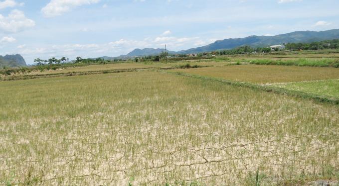 Do nước sông Gianh bị nhiễm mặn nặng nên hàng ngàn ha lúa vụ hè thu ở Quảng Bình đang bị hạn hán đe dọa. Ảnh: T.Phùng.