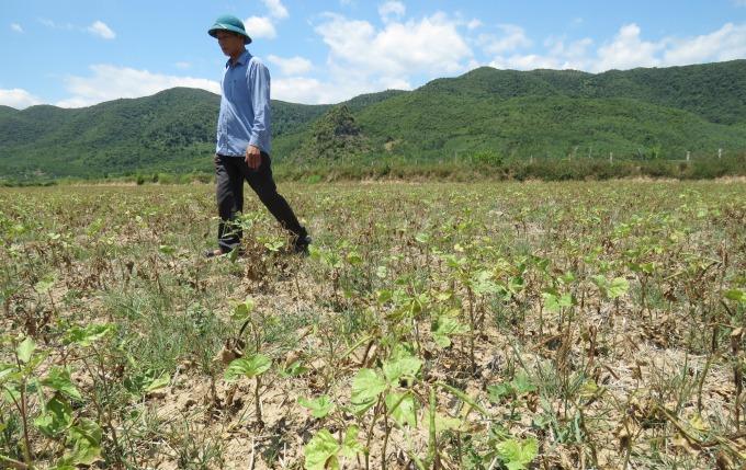 Diện tích đậu xanh chuyển đổi ở xã Châu Hóa cũng bị hạn hán nên không phát triển, không có hiệu quả. Ảnh: T.Phùng.