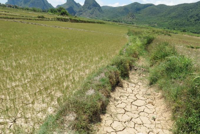 Nhiều cánh đồng ở huyện Tuyên Hóa cũng đang trong tình cảnh bị hạn hán làm cháy khô. Ảnh: T.Phùng.