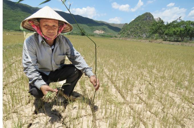 Nông dân Phan Văn Tiến: 'Lúa cháy như vầy thì mất mùa nhìn thấy đó rồi'. Ảnh: T.Phùng.
