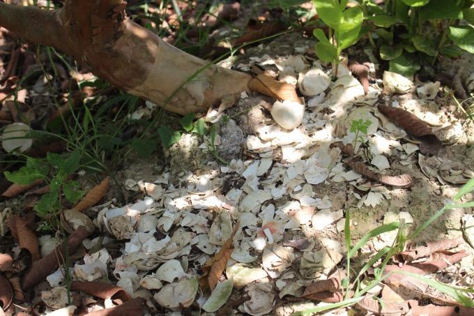 Anh Tài rải vỏ trứng gà, vịt rải quanh gốc cây ổi giúp cây có thêm chất dinh dưỡng để nuôi quả. Ảnh: Mai Chiến.