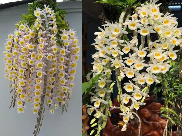 Lan long tu là loại lan thuộc chi hoàng thảo, Đây là loại lan dễ trồng, ra hoa nhanh, hương thơm dịu nhẹ