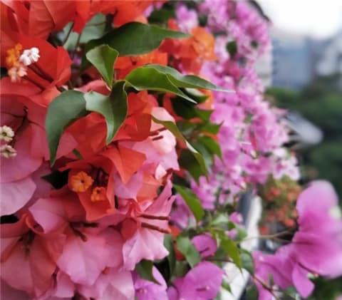 Để nuôi hoa giấy vào mùa thu, hãy cho ăn một ít 'phân bón hoa' càng sớm càng tốt để nở một đợt hoa khác