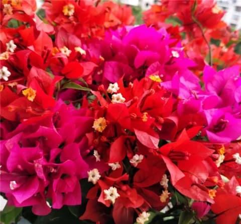 hoa giấy, cây cảnh, kinh nghiệm trồng cây