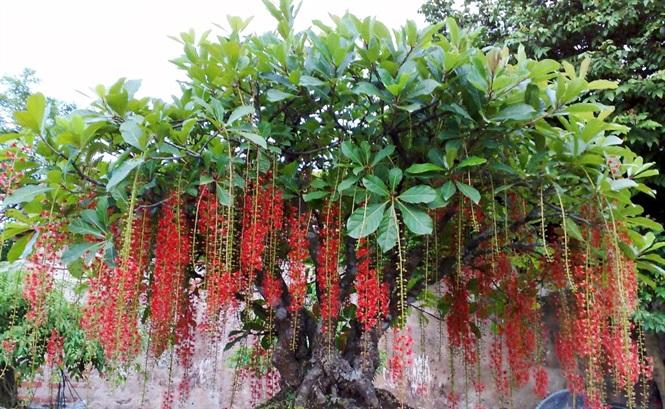 Cách nhân giống, ươm hạt cây lộc vừng và cho nở hoa theo ý muốn