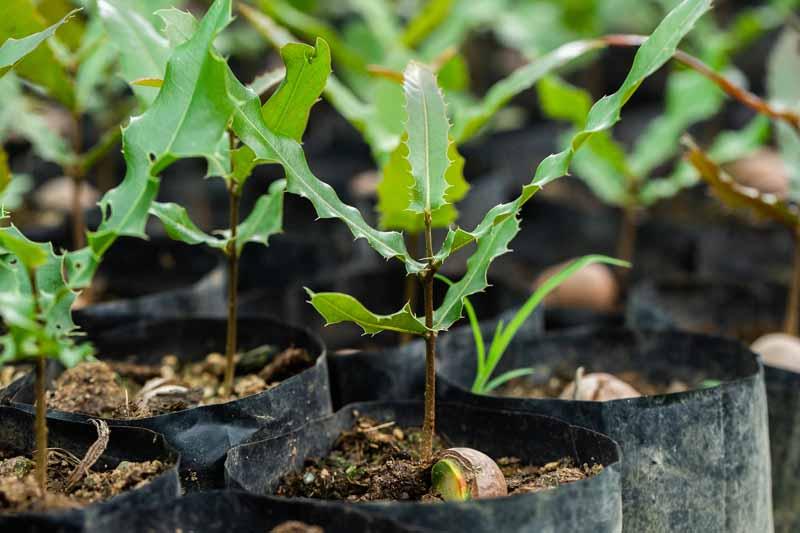 Để trồng cây Mắc ca đạt năng suất hiệu quả cao cần phải trồng phối hợp các dòng khác nhau, cây giống cần để nơi râm mát, tưới nước giữ ẩm.