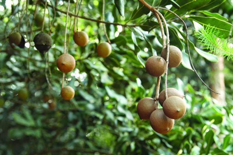 Kỹ thuật chọn giống, trồng cây mắc ca cho năng suất và chất lượng cao